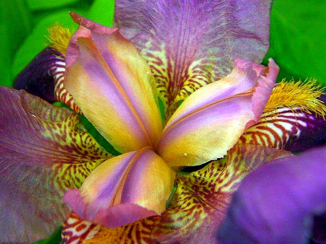 Iris flower, showing how irises differ from the anatomy of other flowers. Iris Day is May 8th. Photo © 2012 Kyla Matton Osborne | #iris #flowers