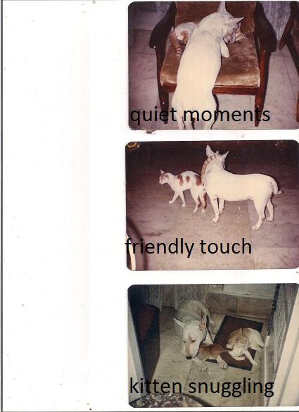 Bull Terrier - The Most Misunderstood Dog