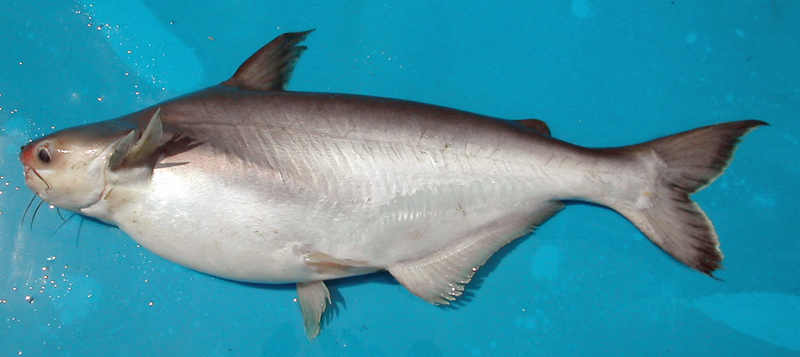 Basa fish something else to poison the population for What kind of fish is basa