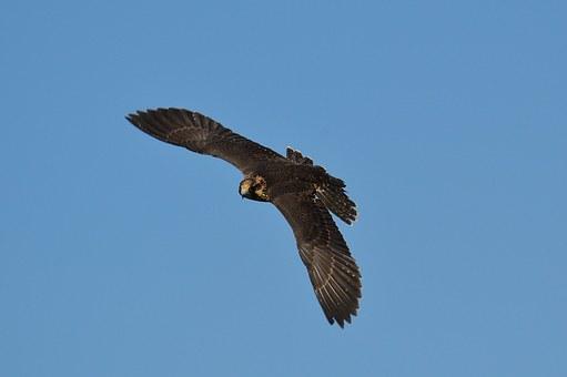 falcon-1325820__340