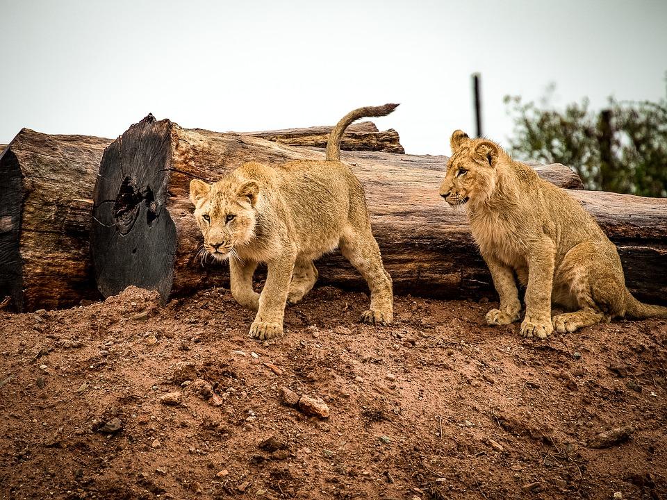 lion-1544990_960_720 (1)