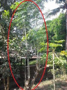 malunggay tree