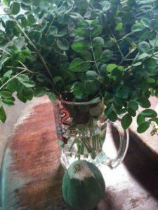 moringa leaves 2