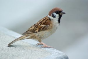 tree_sparrow_sparrow_bird_214479