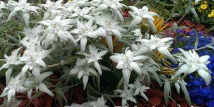 edelweiss-195499_960_720