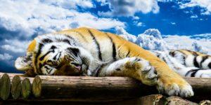 tiger-1637009_960_720