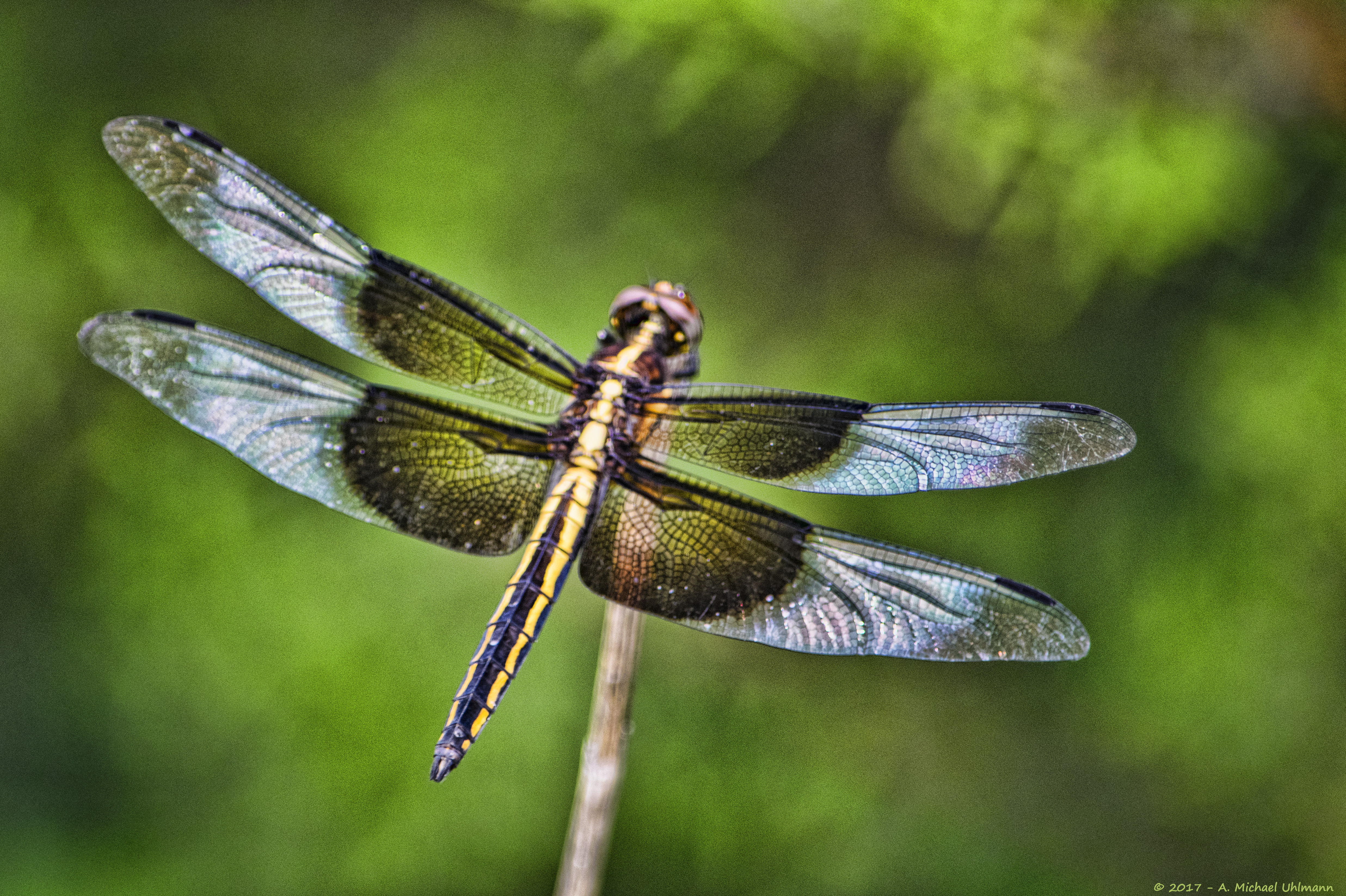 Widow Skimmer Libellula luctuosa Dragonfly Nature Insect Texas Portrait  sm10 K_4275
